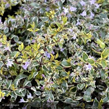 ABELIA grandiflora Sparkling silver