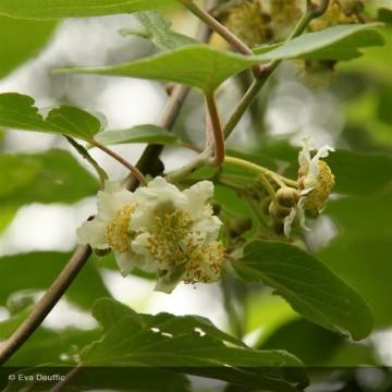 ACTINIDIA deliciosa Belen (mâle)