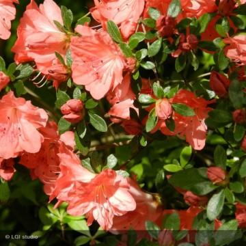 AZALEA japonica Blauw's pink
