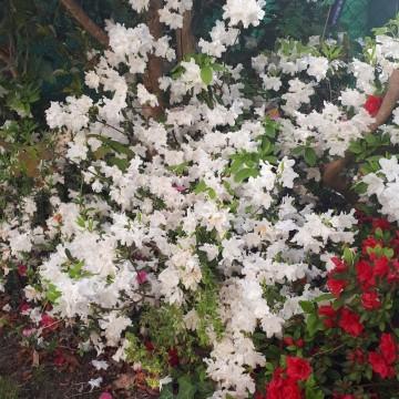 AZALEA japonica White lady