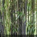 BAMBOU phyllostachys Nigra