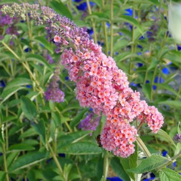 BUDDLEJA davidii Flower power
