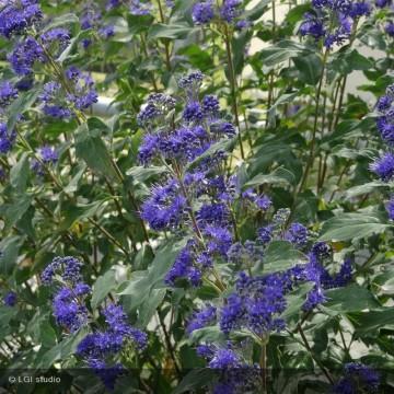 CARYOPTERIS x clandonensis Grand bleu