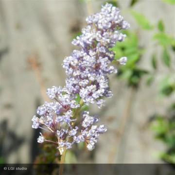 CEANOTHUS x Autumnal blue