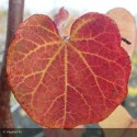 CERCIS canadensis Traveller