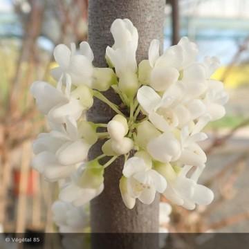 CERCIS canadensis Vanilla...
