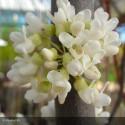 CERCIS canadensis Vanilla twist