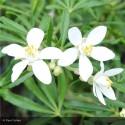 CHOISYA ternata White dazzler
