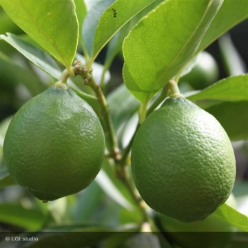 CITRUS aurantifolia Mexicana (citron vert)