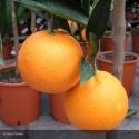 CITRUS sinensis Washington navel