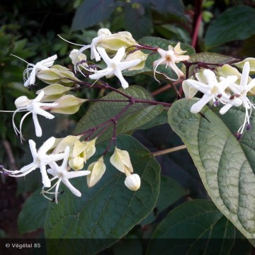 CLERODENDRUM trichotomum...