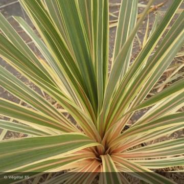 CORDYLINE australis Torbay...