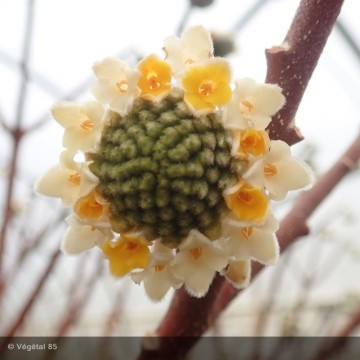EDGEWORTHIA chrysantha Nanjing gold