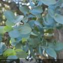 EUCALYPTUS gunnii Baby blue