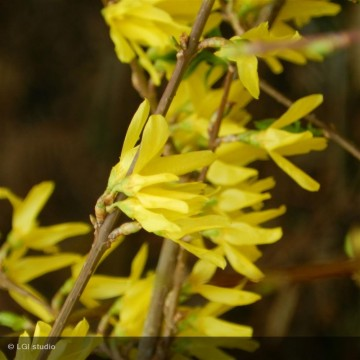 FORSYTHIA x intermedia Lynwood gold
