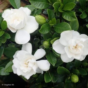 GARDENIA jasminoides Crown jewel