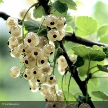 GROSEILLIER Versaillaise blanche