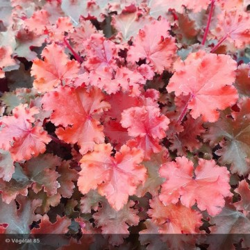 HEUCHERA Peach