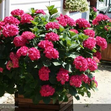 HYDRANGEA macrophylla King georges v