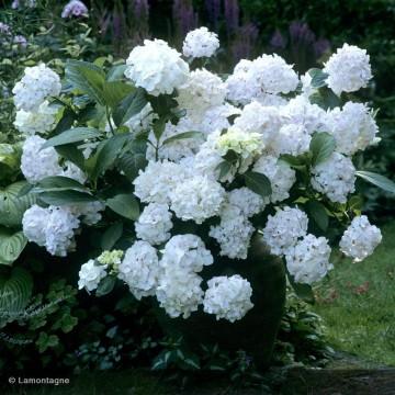 HYDRANGEA macrophylla Mme...