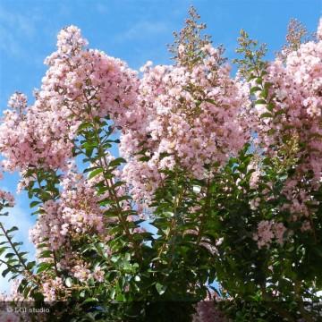 LAGERSTROEMIA indica Rose clair
