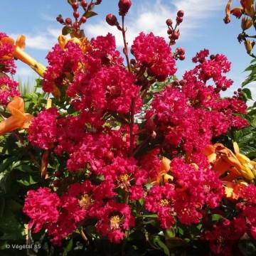 LAGERSTROEMIA indica Rose vif