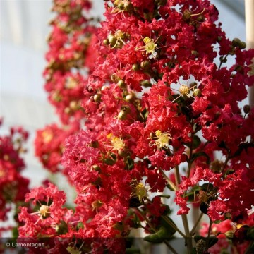 LAGERSTROEMIA indica Rouge clair