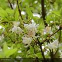 LONICERA fragrantissima
