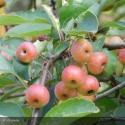 MALUS x perpetu Evereste