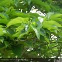 MORUS alba Giant fruit