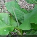 MUSA japonica (bajoo)