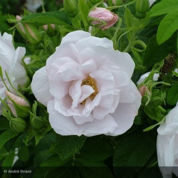 ROSA rugosa White perfection