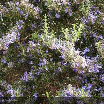 ROSMARINUS officinalis Corsican blue