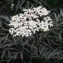 SAMBUCUS nigra Black lace eva