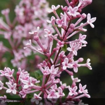 SYRINGA x bloomerang Pink perfume