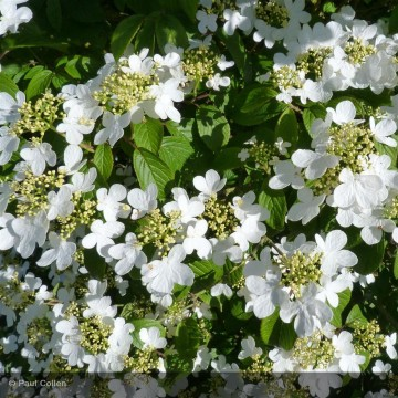 VIBURNUM plicatum Summer...
