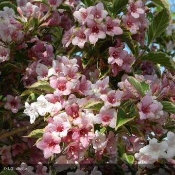 WEIGELIA Kosteriana variegata
