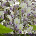 WISTERIA floribunda Macrobotrys