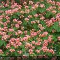 ALBIZIA julibrissin Ombrella Specimen