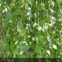 BETULA verrucosa Specimen