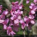 CERCIS siliquastrum Specimen