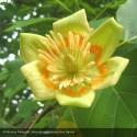 LIRIODENDRON tulipifera Specimen