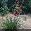 HESPERALOE parvifolia