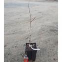 ASIMINA triloba Potomac peterson pawpaw(r)