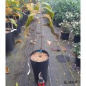 ASIMINA triloba Wabash peterson pawpaw(r)