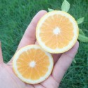 CITRUS x Orangequat greffé sur poncirus