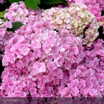 HYDRANGEA macrophylla You and me together