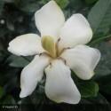 GARDENIA jasminoides Pinwheel