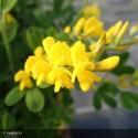CYTISUS racemosus Phoebus