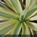 YUCCA recurvifolia Bright star